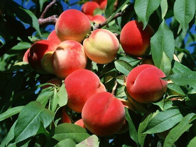 Персиковое дерево с плодами