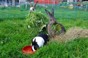Зеленый корм для кроликов