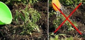 Правильный полив томатов под корень