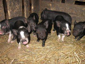 Поросята вьетнамской вислобрюхой свиньи