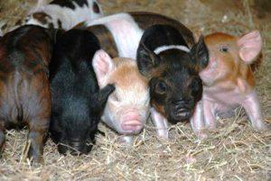 Разведение разных пород свиней