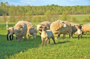 Особенности поведения овец