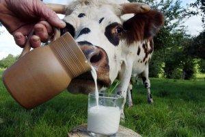 Разведение коров на молоко: особенности и перспективы