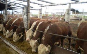 Разведение коров на мясо