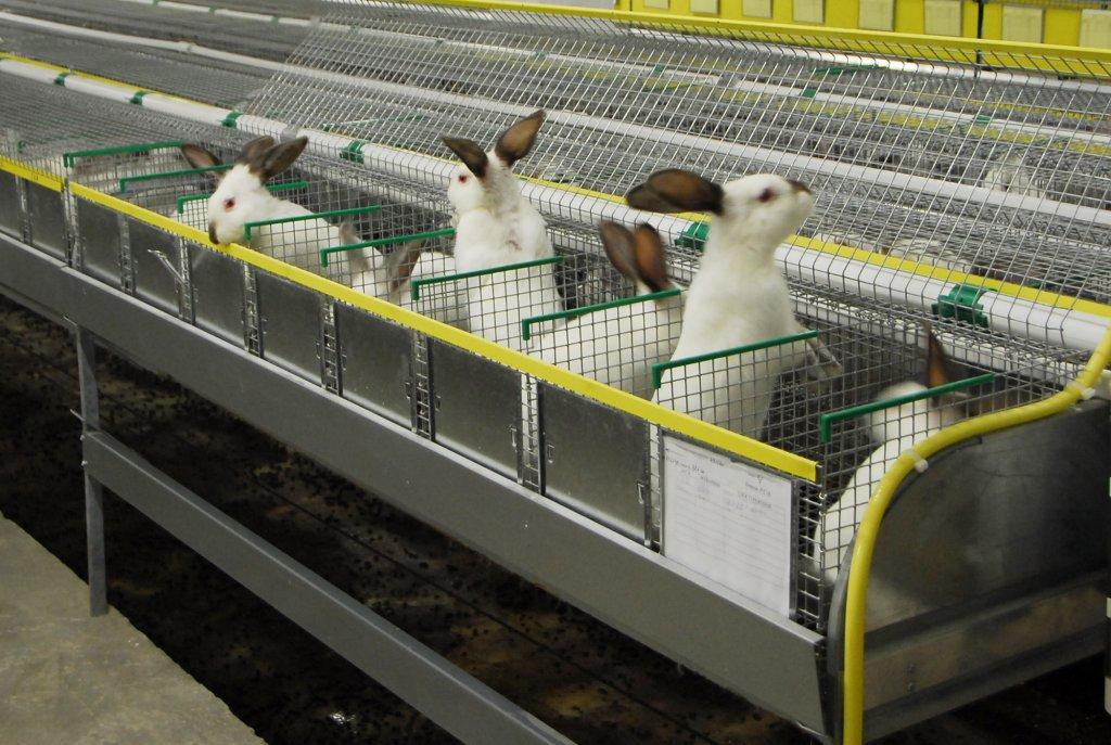 Промышленное разведение кроликов