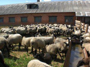 Ферма по разведению романовских овец