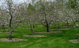 Подбор и размещение плодовых деревьев