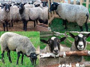 Шерстяной покров романовских овец