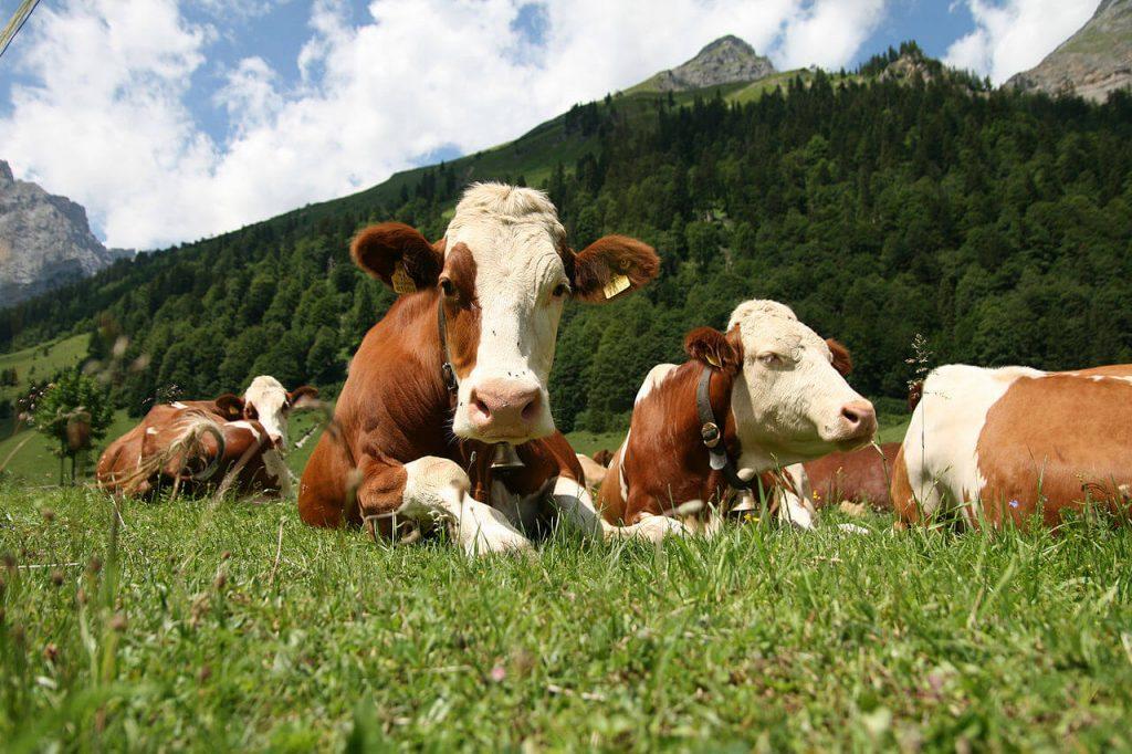Коровы симментальской породы на пастбище