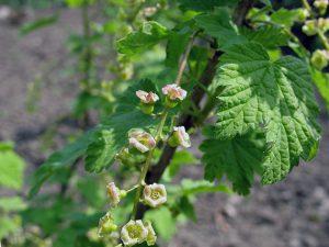 Цветение смородины в саду