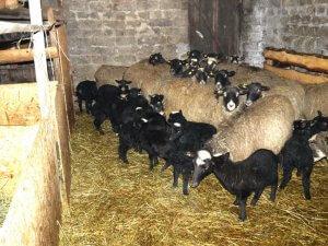 Стадо овец романовской породы в загоне
