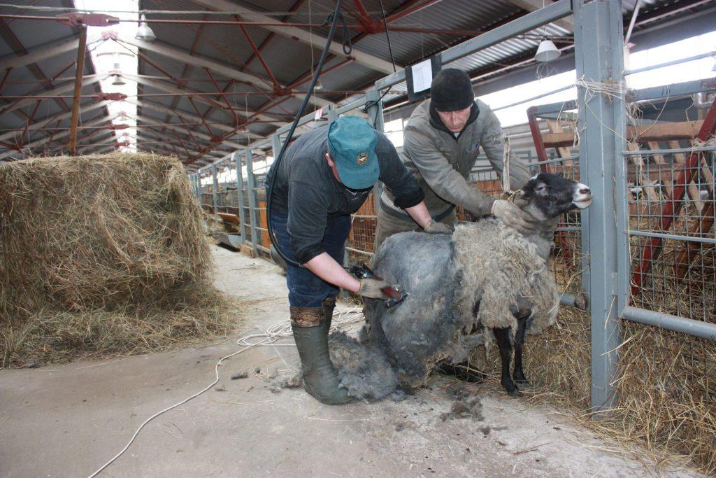 Стрижка овец на мини ферме