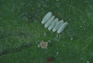 Личинки свекловичной минирующих мухи