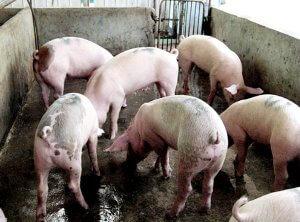 Свиная клетка со свиньями
