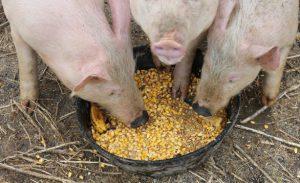 Три свиньи едят из таза
