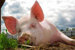 Отрасль свиноводства