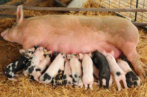 Свинья кормит поросят