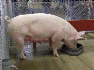 Аскаридозе свиней