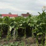 Выращивание табака: особенности посадки и ухода