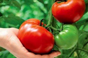 Сорт томата толстый карлсон