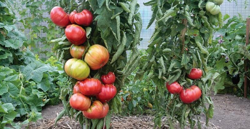 Вредители и болезни томатов, перца, баклажанов