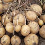Вредители и болезни картофеля