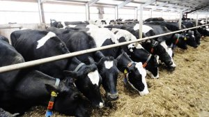 Молочная ферма - разведение и уход