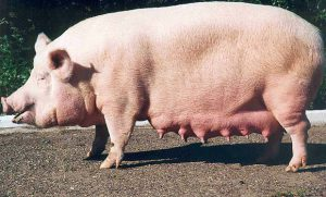 Взрослая свинья