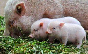 Кормление свиньи с поросятами