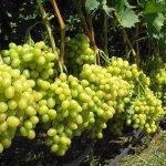 Вредители и болезни винограда: особенности борьбы