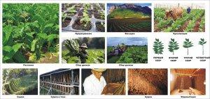 Технология выращивания табака
