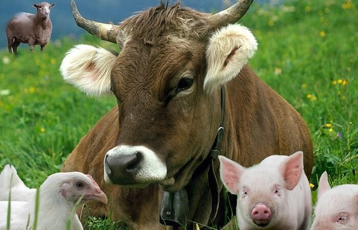 Какие животные выращивают на ферме и как за ними ухаживать?
