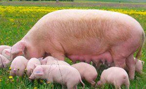 Кормление подсосных свиноматок