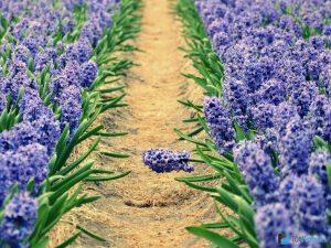 Гиацинты синего цвета