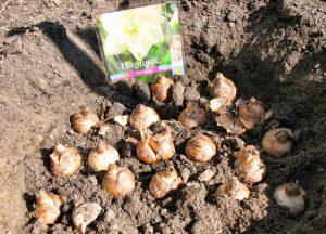 Высадка луковиц нарцисса в грунт