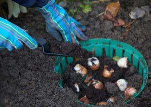 Посев гиацинтов