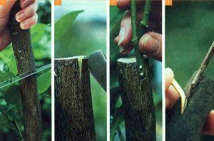 Способы прививки деревьев