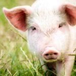 Промышленное свиноводство и окружающая среда