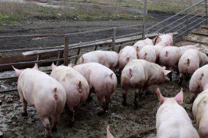 Свиное стадо на прогулке