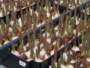 Технология посадки луковиц тюльпанов