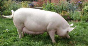 Свинья крупной белой породы