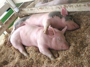 Две свиньи отдыхают