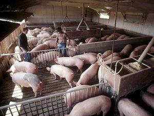 Ферма по разведению свиней