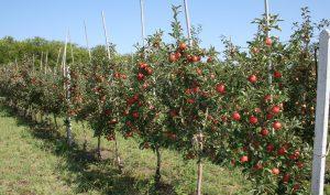 Выбираем саженцы плодовых деревьев
