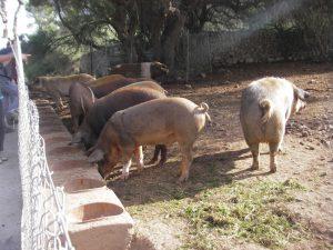 Свиньи на улице