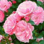 Как посадить розу в саду