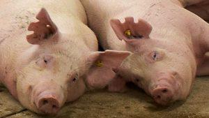 Две взрослые свиньи отдыхают