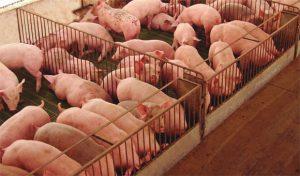 Свиньи в клетках