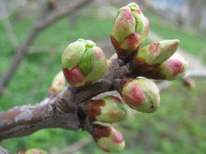 Прививка плодовых деревьев