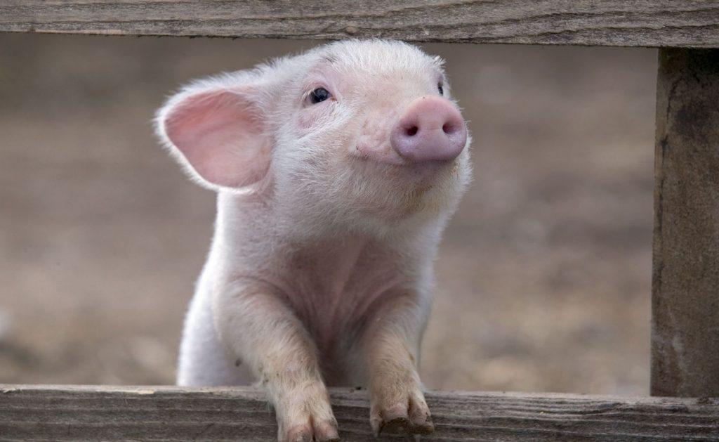 Другие методы чистого разведения свиней